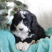 Bernese Mountain Poo Puppy For Sale in GAP, PA, USA