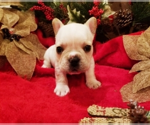 French Bulldog Puppy for Sale in YAKIMA, Washington USA