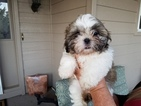Shih Tzu Puppy For Sale in CHINO VALLEY, AZ