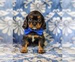 Small Cavalier King Charles Spaniel
