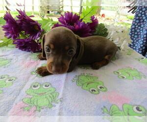 Dachshund Puppy for sale in LANSING, MI, USA