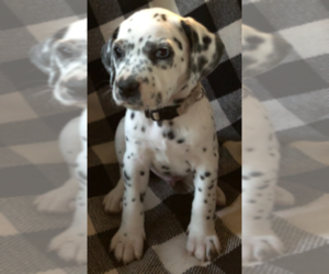 Dalmatian Puppy for Sale in JACKSONVILLE, Florida USA