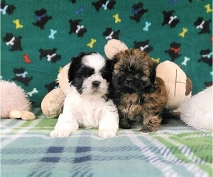 Shih Tzu Puppy for Sale in WINSTON SALEM, North Carolina USA