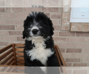 Bernedoodle Puppy for sale in BOSTON, MA, USA