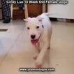 Small Photo #103 Dogo Argentino Puppy For Sale in PINEVILLE, MO, USA