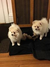 Pomeranian Puppy For Sale in WINTHROP, MA