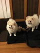 Pomeranian Puppy For Sale in WINTHROP, MA