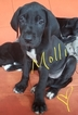 Great Dane Puppy For Sale in BUFORD, GA, USA
