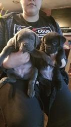 Cane Corso Puppy For Sale in RENTON, WA, USA