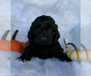 Cock-A-Poo Puppy for sale in FREDERICKSBG, OH, USA