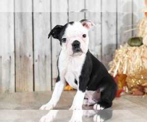 Boston Terrier Puppy for sale in MOUNT VERNON, OH, USA