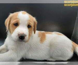 Australian Shepherd-Lab-Pointer Mix Puppy for Sale in MILLVILLE, Minnesota USA
