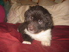 Newfoundland Puppy For Sale in PINETOP, AZ
