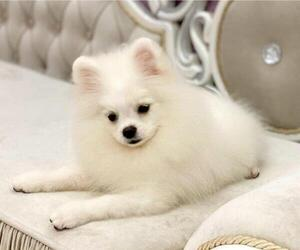 Pomeranian Puppy for sale in BALDWIN HILLS, CA, USA