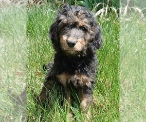 Bernedoodle-Goldendoodle Mix Puppy for Sale in MONTROSE, Colorado USA