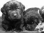 Small #30 Labrador Retriever
