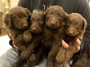 Puppyfinder com: Labradoodle puppies puppies for sale near me in