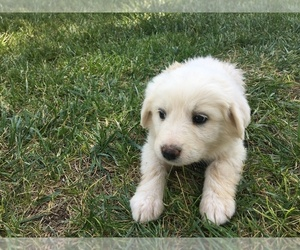 Great Pyrenees Puppy for sale in LOMA, CO, USA