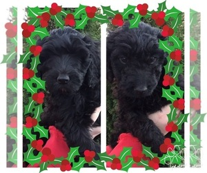 Labradoodle Puppy for Sale in NORTH MANCHESTER, Indiana USA