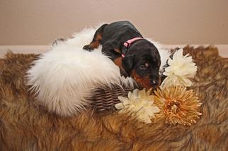 Doberman Pinscher Puppy For Sale in LOVELAND, CO, USA