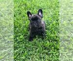 Image preview for Ad Listing. Nickname: Black frenchie