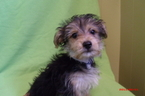 Mal-Shi Puppy For Sale in PATERSON, NJ
