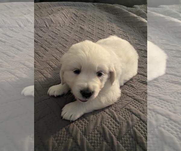 Medium Photo #22 English Cream Golden Retriever Puppy For Sale in ARCHBALD, PA, USA