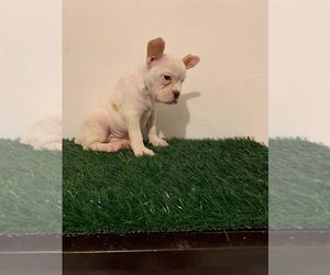 French Bulldog Puppy for sale in CHULA VISTA, CA, USA