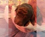 Puppy 6 Poodle (Standard)