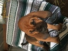Bloodhound Puppy For Sale in SMYER, TX, USA
