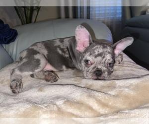 French Bulldog Puppy for Sale in SARASOTA, Florida USA
