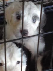 Old English Sheepdog Puppy For Sale in BLUE SPRINGS, MO
