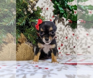 Chihuahua Dog for Adoption in KIRKWOOD, Pennsylvania USA