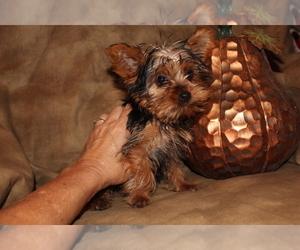Yorkshire Terrier Puppy for Sale in SIERRA VISTA, Arizona USA