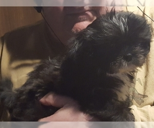 Shih Tzu Puppy for Sale in MONROE, Washington USA