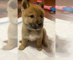 Shikoku Puppy for sale in SAINT PETERSBURG, FL, USA