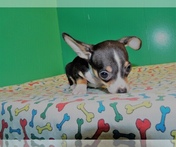 Medium Photo #4 Chihuahua Puppy For Sale in PATERSON, NJ, USA