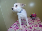 Schnau-Tzu Puppy For Sale in PATERSON, NJ, USA