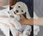 Puppy 8 Labradoodle