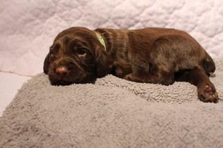 English Cocker Spaniel Puppy for sale in HILLSBORO, IL, USA