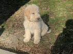 Goldendoodle-Poodle (Miniature) Mix Puppy For Sale in BERZELIA, GA, USA