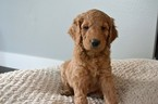 Goldendoodle Puppy For Sale in PUYALLUP, WA, USA