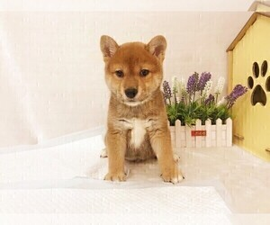 Shiba Inu Puppy for Sale in SAN DIEGO, California USA