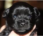 Puppy 2 ShihPoo