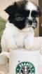 Shih Tzu Puppy For Sale in ATLANTA, GA, USA