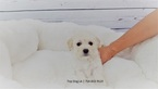 Maltese-Poodle (Toy) Mix Puppy For Sale in LA MIRADA, CA, USA