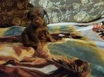 Doberman Pinscher Puppy For Sale in SMOKERUN, PA, USA