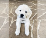 Small #12 English Cream Golden Retriever