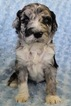Bordoodle Puppy For Sale in OAK HILL, WV, USA