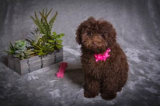 Poodle (Toy) Puppy For Sale in BLOOMFIELD, CT